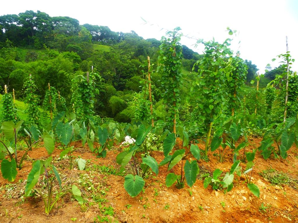 L agriculture traditionnelle en martinique pollen conseil for L agriculture